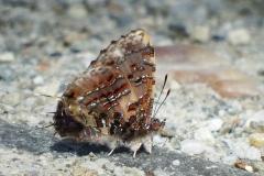 Catopoecilma major