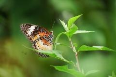 Cethosia cyane-